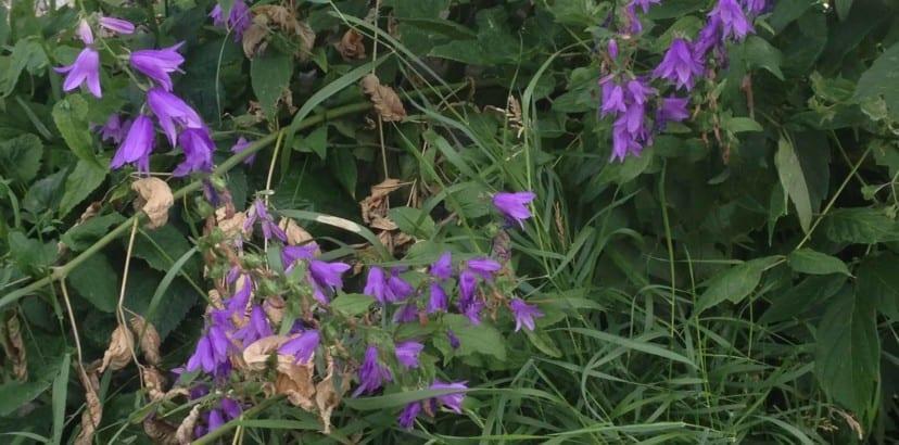 Creeping bellflower spotted everywhere